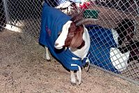 South African Boer Goat